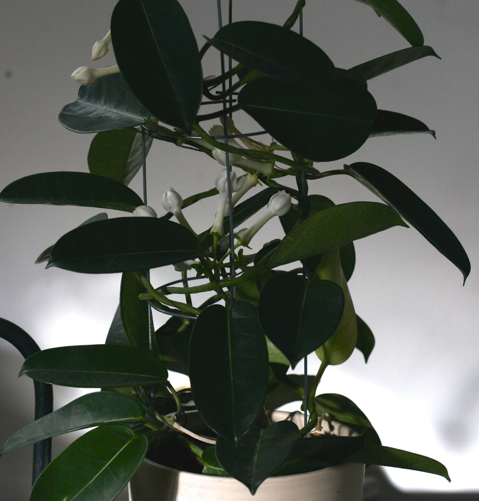 The husband presented Stefanotis, and his leaves turn yellow, how to care, why so