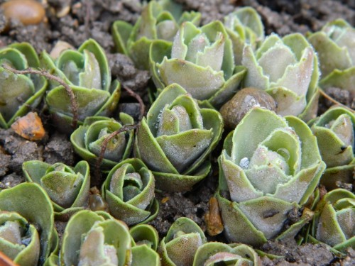 Sedum Autumn Joy appearing