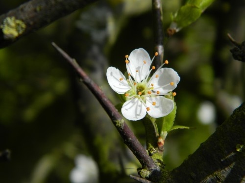 Blackthorn blossom and thorn APRIL