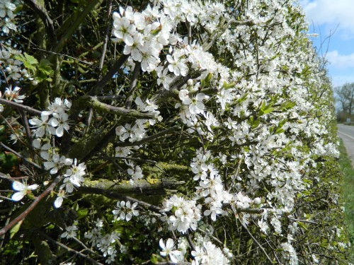 Blackthorn hedge APRIL
