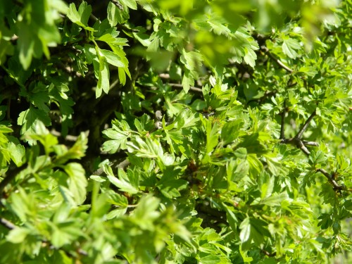 Hawthorn Hedge early May