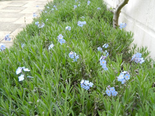 Lavendula interplanted with Forget-me-not.