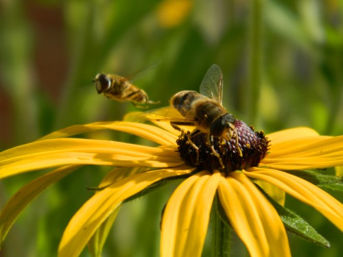 Honey bees need propolis too