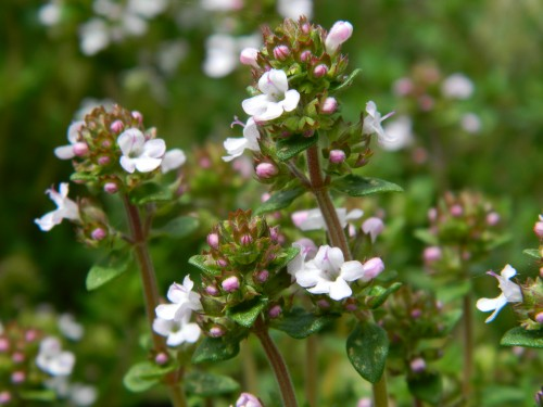Thyme (by far the most popular)