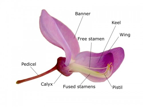Diagram of Wisteria flower courtesy of David Richfield