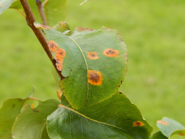 Black Spots On A Asian Pear Leaves 120