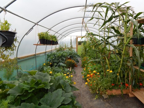 Polytunnel on august 25th