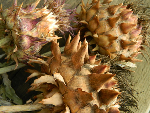 DRYING FLOWERS Cardoon