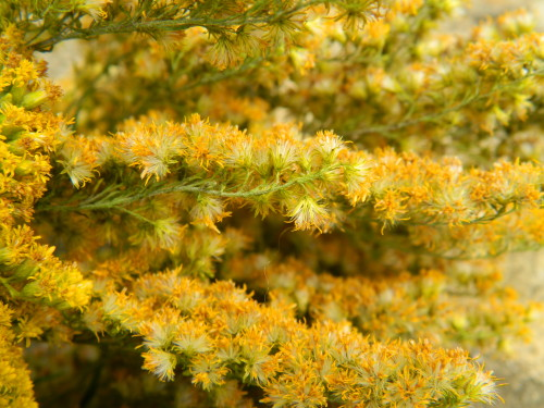 DRYING FLOWERS Goldenrod