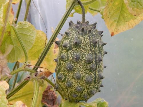 Kiwano or Horned Melon 1