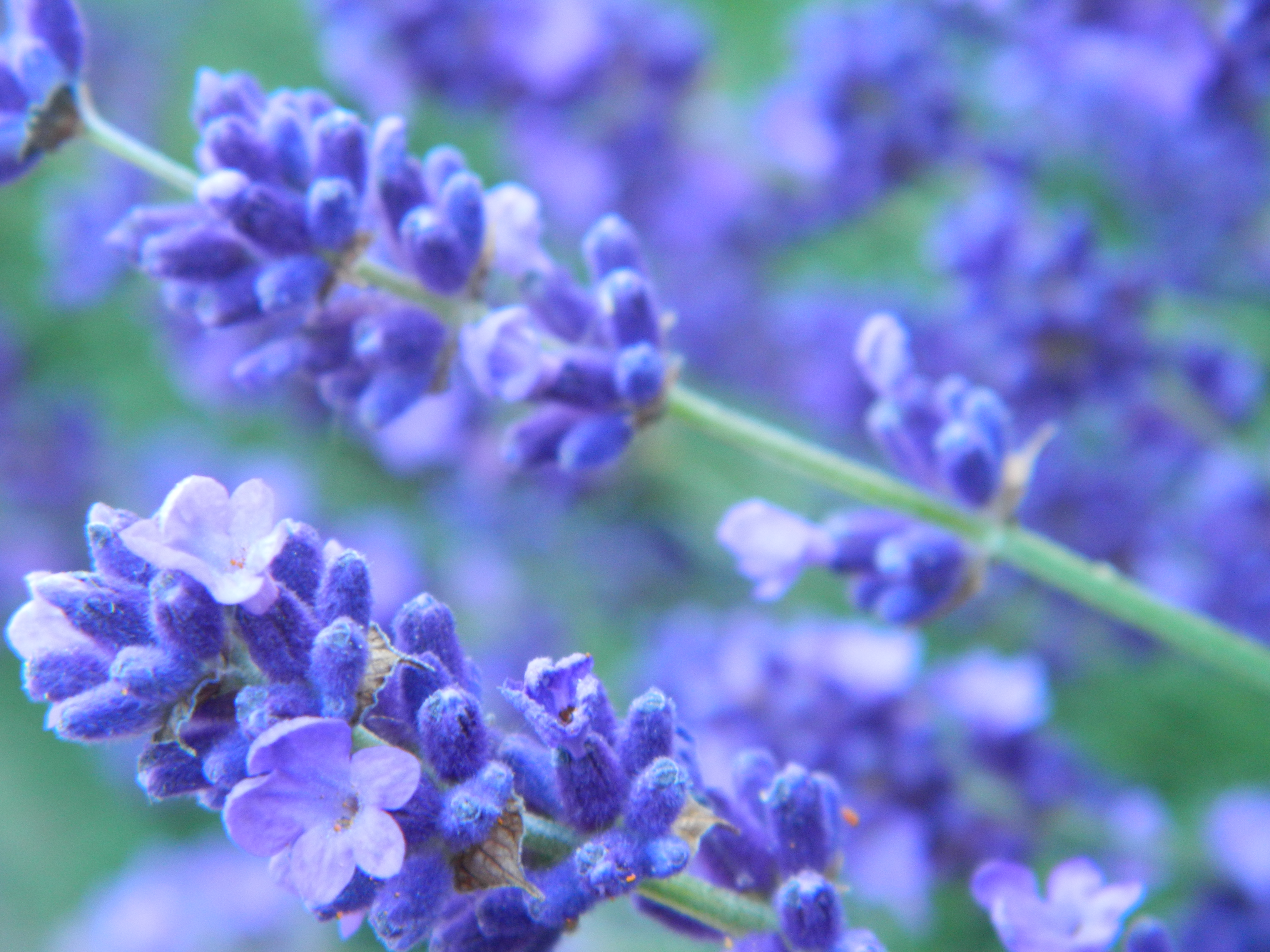the spent flower heads and cut back our five metre long lavender    Lavender Flower Close Up