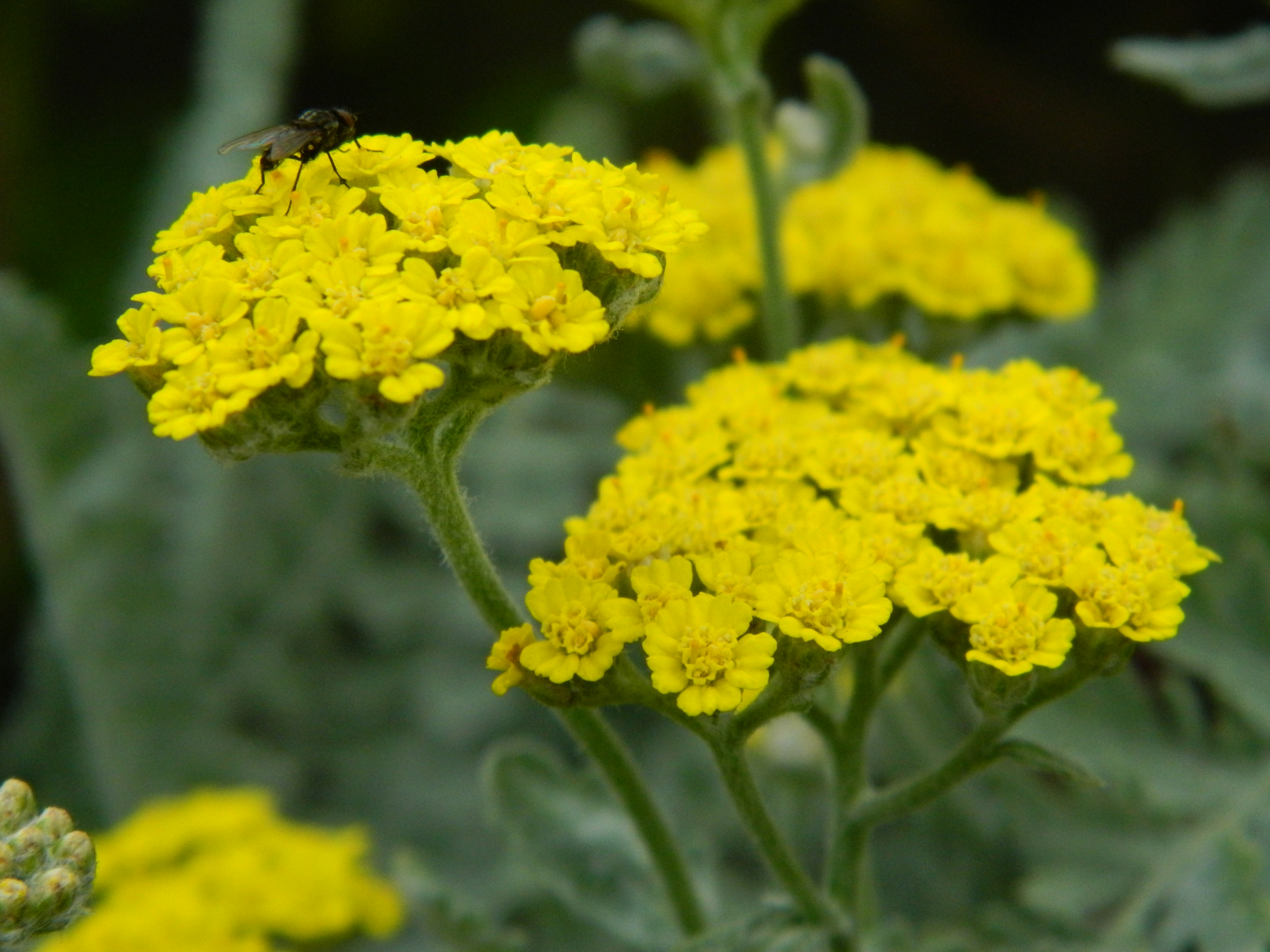 Word up Y is for YARROW Sow and So