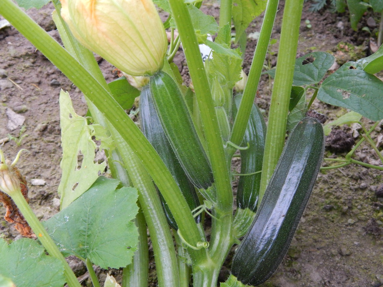 Courgettes in the october polytunnel