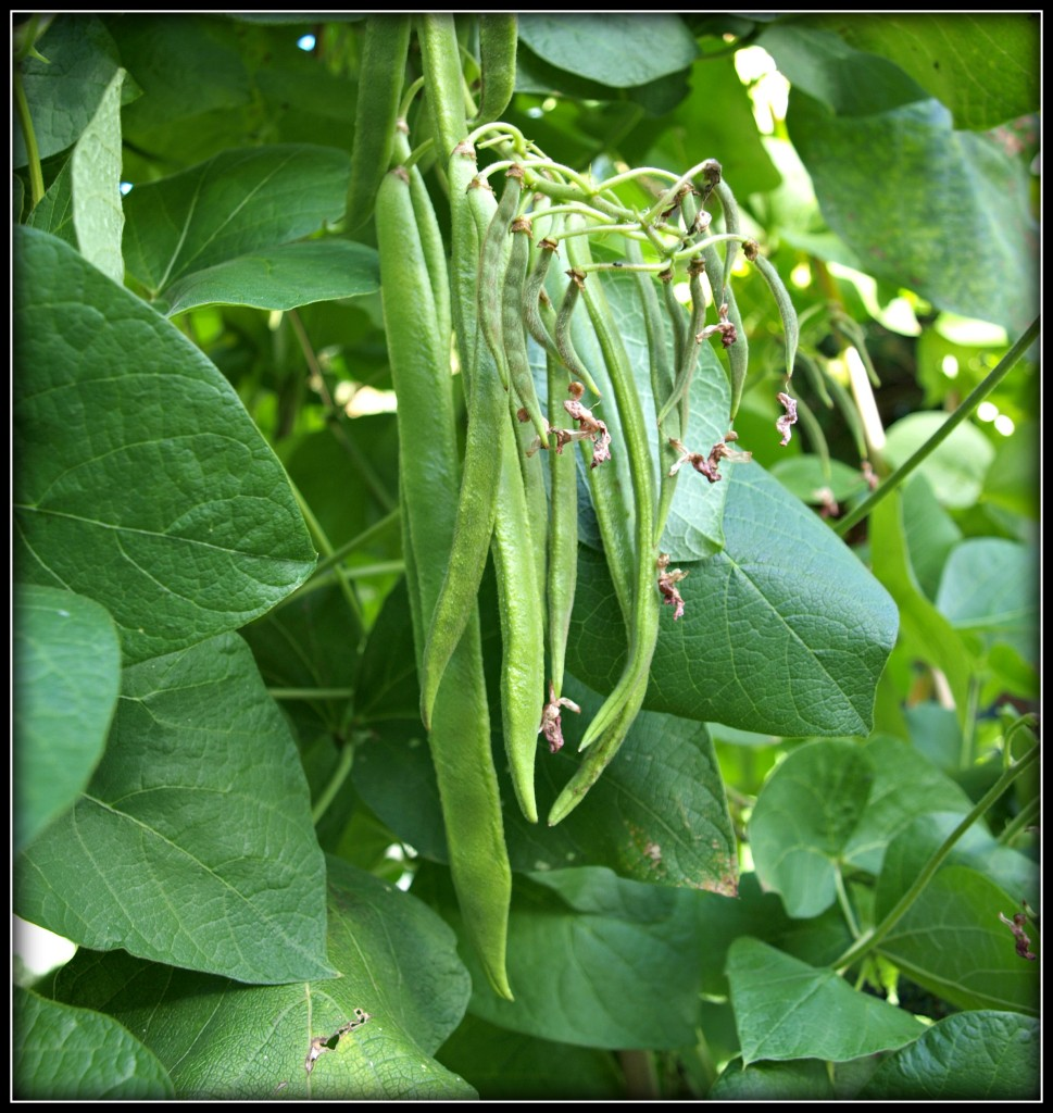 how to grow runner beans rhs