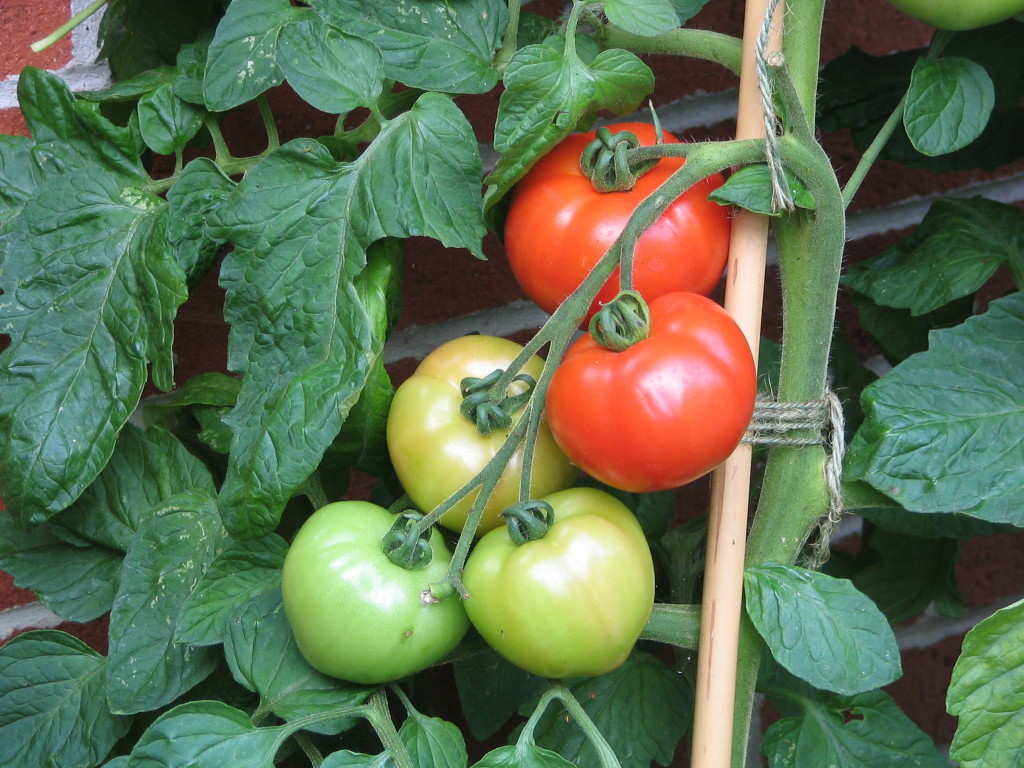 Ferline Tomatoes