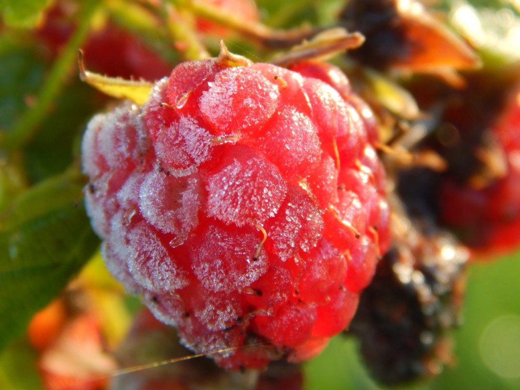 Raspberry with frost