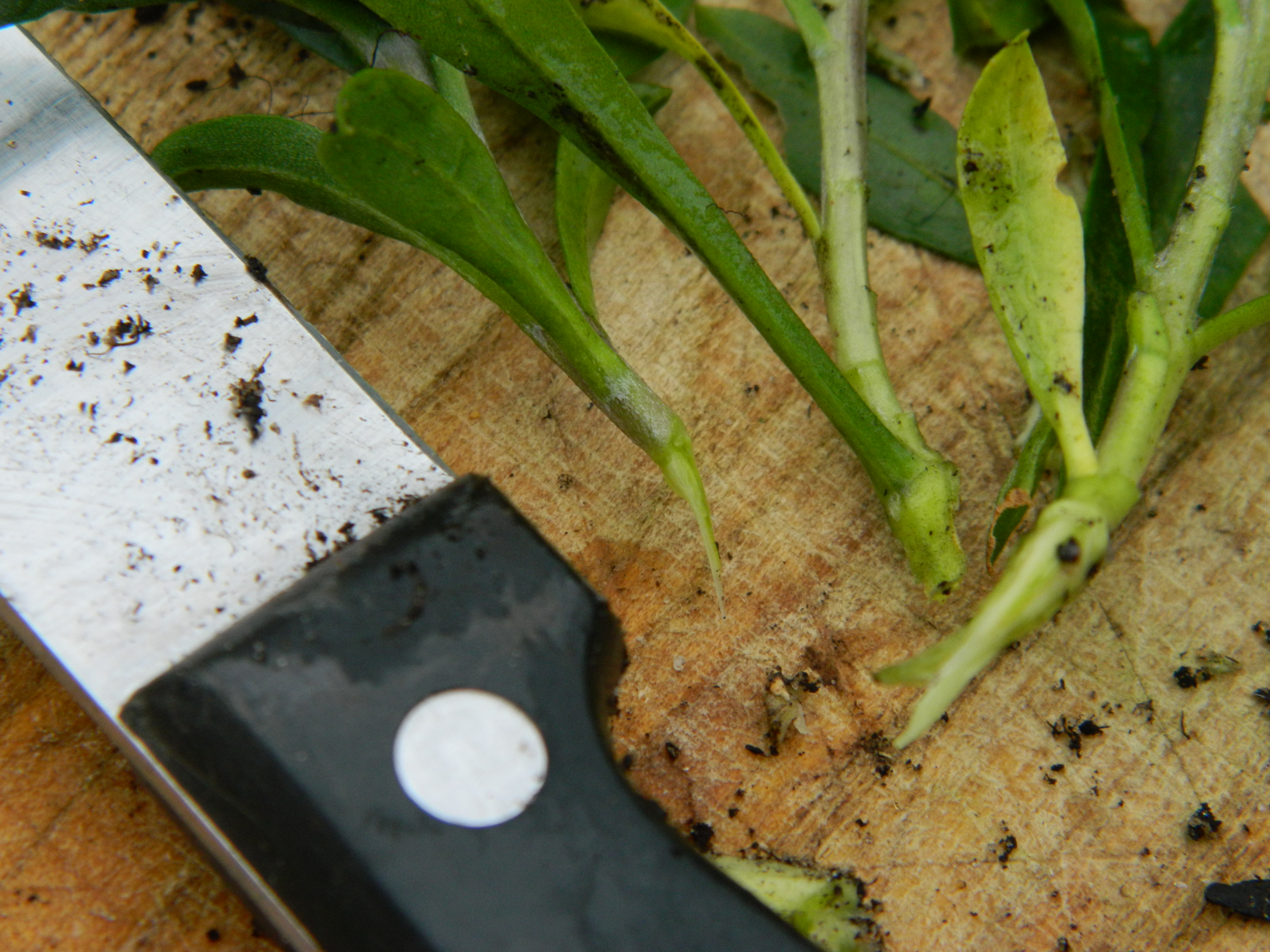 how to take cuttings from wallflowers