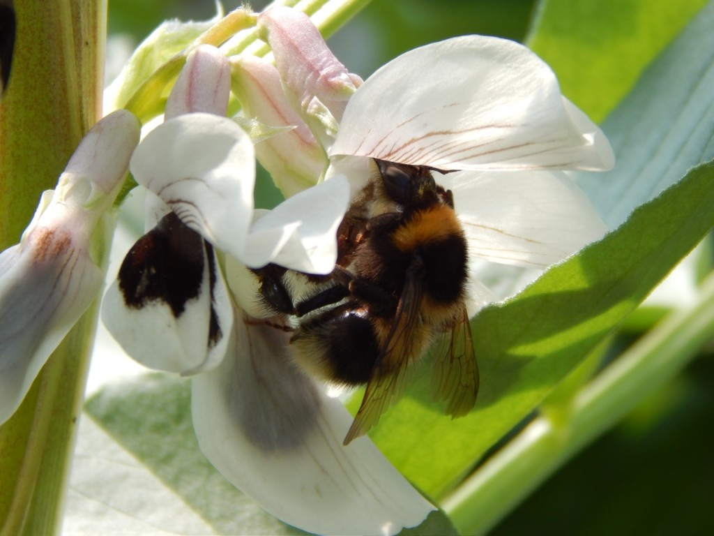 Bumble bee on broad bean flowers
