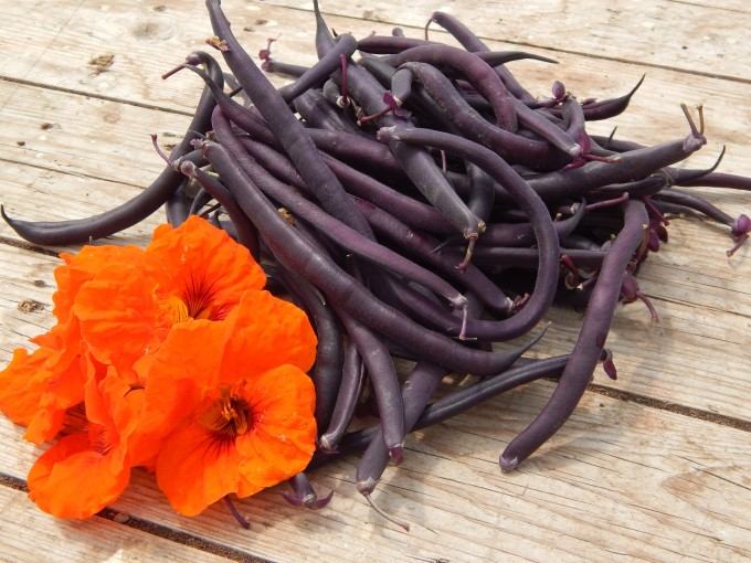 Harvest Monday June 30th French Beans Purple Queen