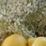 Elderflowers ready for champagne making