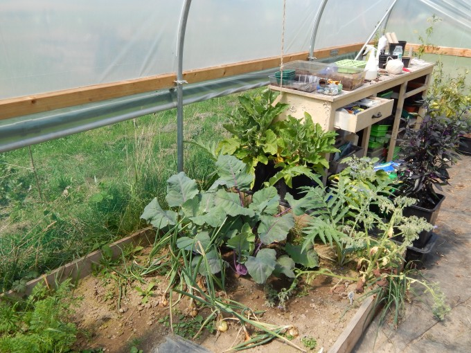 Polytunnel in July Kohlrabi and Artichokes