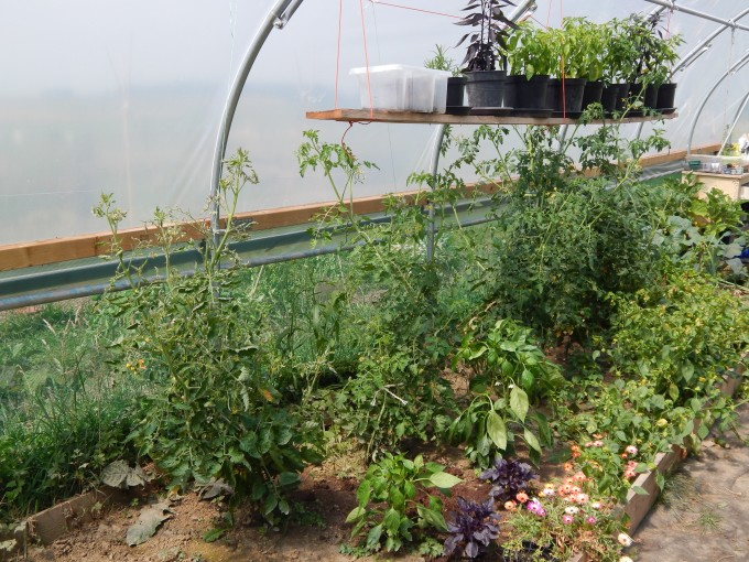 Polytunnel in July chillies and Tomatoes