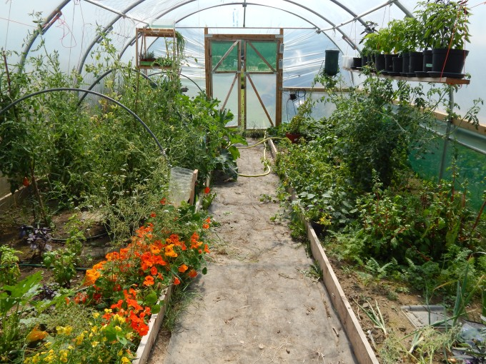Polytunnel in July overview 1
