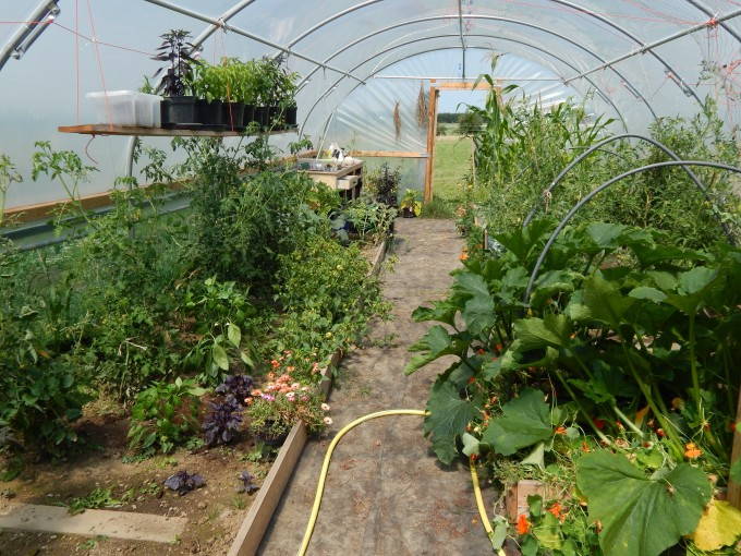 Polytunnel in July overview 2