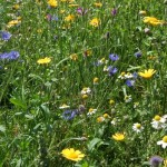 Wildflower Meadow Feature