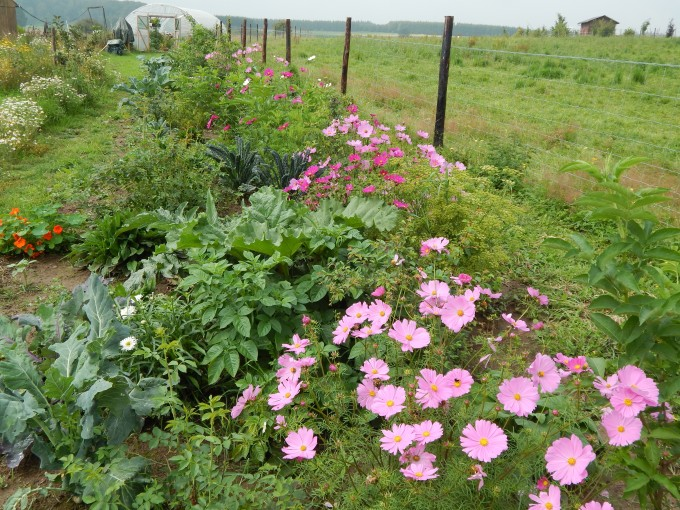 Cosmos, polytunnel, kale, herbs