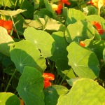 Evening sun on nasturtiums