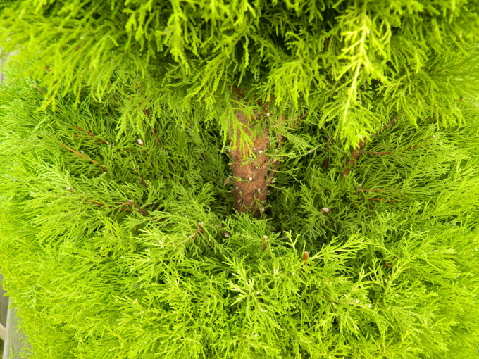 TOPIARY looking down