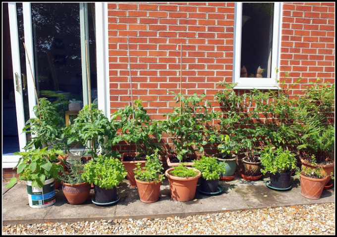 Veg growing in containers