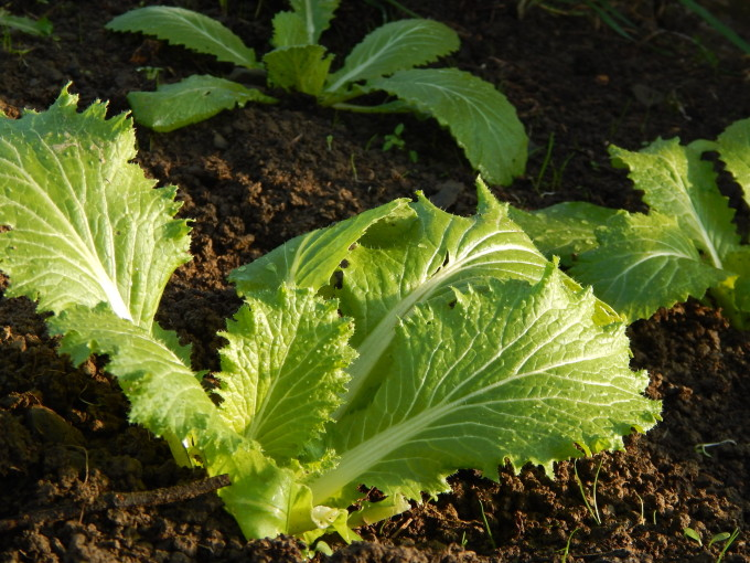 Chinese Cabbage in the polytunnel in December