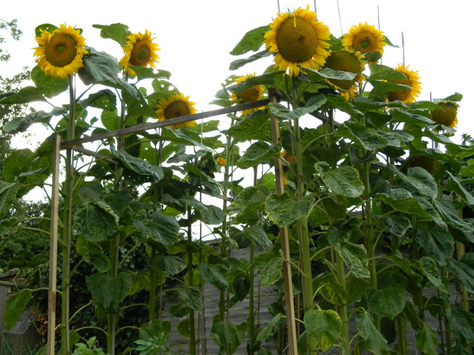 Sunflowers 2013 (2)
