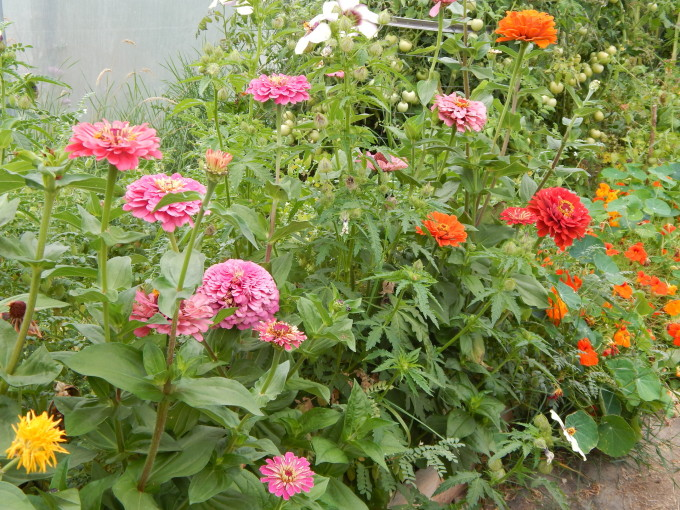 Zinnia in the poly