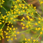 Dill Flowers – Wordless Wednesday