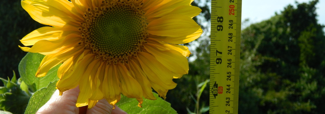 Sow and So Sunflower Competition 2015