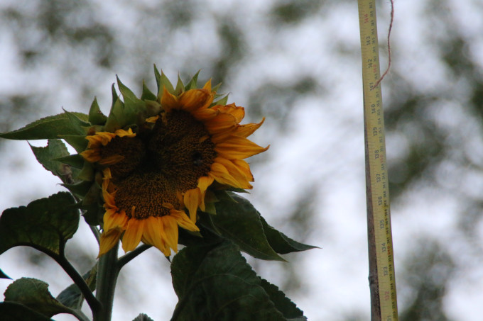 Mike's sunflower