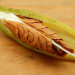 Milkweed Seeds – Wordless Wednesday