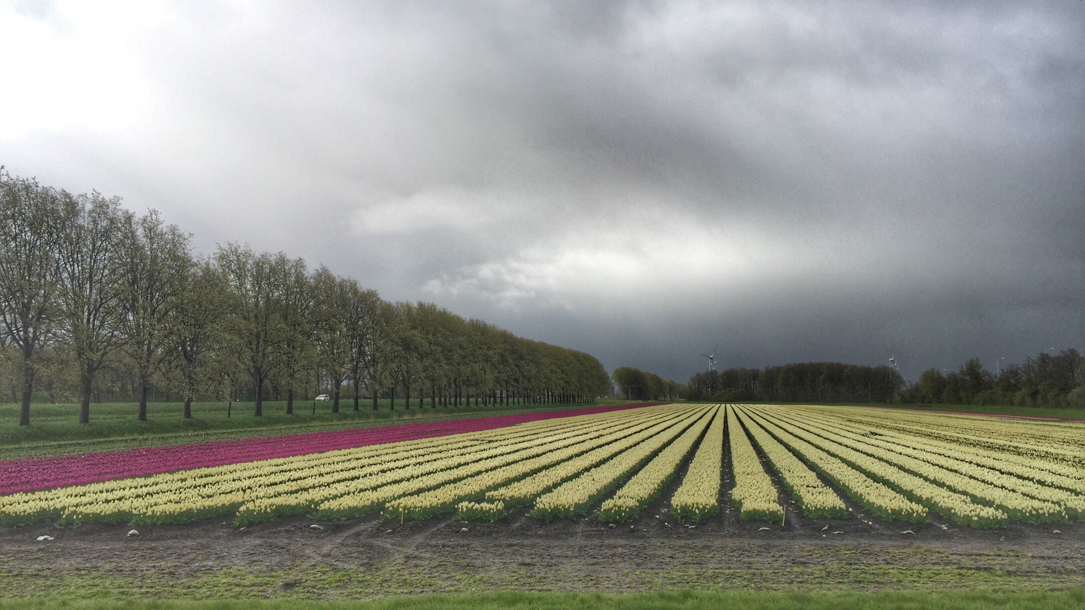 Tukip fields in Holland