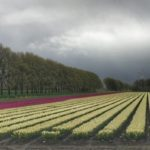 Tulip Fields in Holland – Wordless Wednesday