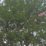 In praise of Crape Myrtles