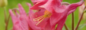 Pink Aquilegia – Wordless Wednesday
